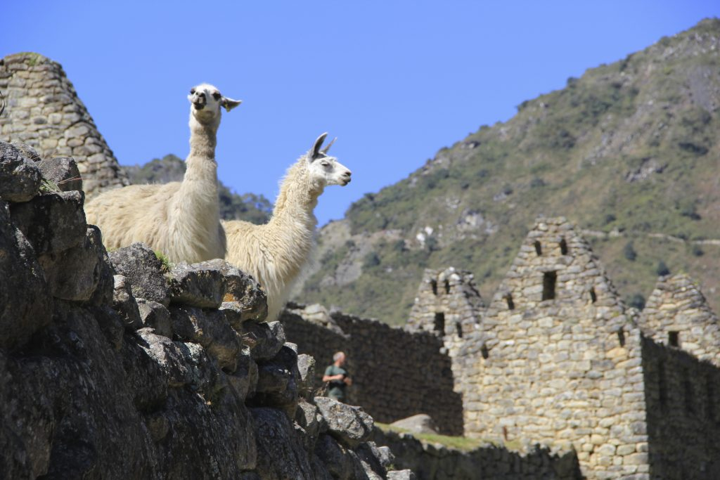 Two llamas on a surviving Inca architecture stone structure at Machu Picchu. Photo © Caroline Cervera.